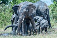 Tiempo del baño de Muddy Scrap At African Elephants Imagenes de archivo