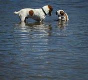 Tiempo del juego de los perros en el lago Imagen de archivo