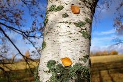 Tiempo del otoño: las hojas caidas amarilleadas se pegaron al tronco del abedul Foto de archivo libre de regalías