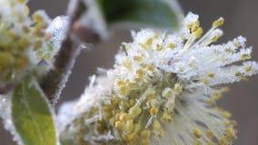 Tiempo frío del resorte de retorno: helada en las flores almacen de video