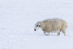 Tiempo muy frío y ovejas Imagen de archivo
