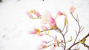 Tiempo que nieva pesado Arbusto de la magnolia que se mueve en viento apacible almacen de video
