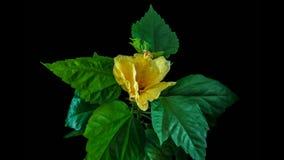 Tiempo-revestimientos amarillos florecientes del hibisco, en un fondo negro, canal alfa almacen de metraje de vídeo