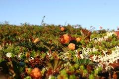Tiempo soleado de las bayas septentrionales Imagen de archivo libre de regalías