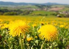 Tiempo y prado de primavera con el diente de león común Imagen de archivo
