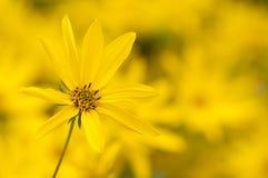 Tien-bloemblaadje Zonnebloem Stock Afbeelding