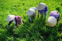 TIEN GIANG, VIETNAM - 21 FÉVRIER 2016 : Femme non définie sur le gisement de riz, delta du Mékong, Vietnam Photo stock