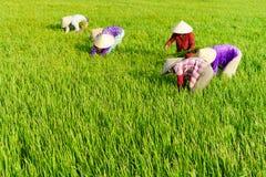 TIEN GIANG, VIETNAM - 21 FÉVRIER 2016 : Le sarclage de la femme non définie sur le gisement de riz, delta du Mékong, Vietnam Image stock