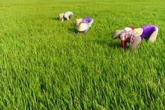 TIEN GIANG, VIETNAM - 21 FEBBRAIO 2016: La sarchiatura indefinita sul giacimento del riso, delta del Mekong, Vietnam della donna Fotografia Stock