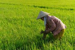 TIEN GIANG, VIETNAME - 21 DE FEVEREIRO DE 2016: Mulher indeterminada no campo do arroz, delta de Mekong, Vietname Fotos de Stock
