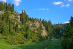 Tien-Shan firs Royalty Free Stock Photo