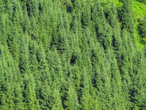 Tien Shan Firs Background Stock Images