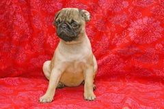 Tien weken oude pug Royalty-vrije Stock Afbeelding