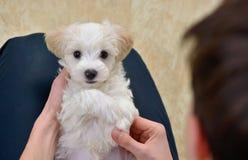 Tienerjongen met witte puppy Maltese hond Royalty-vrije Stock Foto