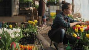 Tienermeisje die in de serre met bloeiende tulpen werken stock videobeelden