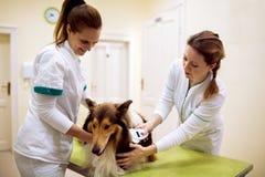 Tierärztliche Kontroll-Chip- und -lese-Informationen von Hund-` s Hals stockbilder