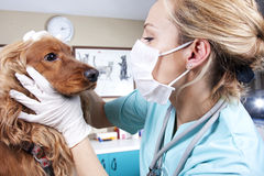 Tierärztlicher Doktor Stockbild