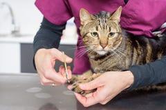 Tierärztlicher Doktor, der die Nägel einer netten Katze trimmt lizenzfreie stockfotos