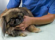 Tierärztlicher Doktor, der eine Überprüfung bildet Stockfoto