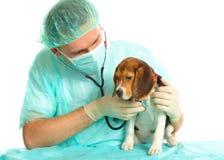 Tierärztlicher Doktor und ein Spürhundwelpe Lizenzfreies Stockfoto