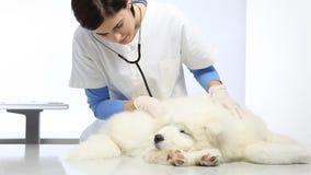 Tierärztlicher Untersuchungshund in der Tierarztklinik stock video footage