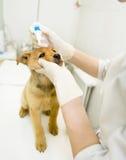 tierärztliches Bratenfett fällt auf das Welpenauge in der Klinik ab stockbild