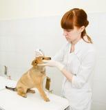 tierärztliches Bratenfett fällt auf das Welpenauge in der Klinik ab lizenzfreie stockbilder