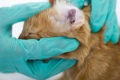 Tierärztliches schauendes Ohr einer Katze, Abschluss oben stockfotos