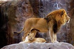 Tier - afrikanischer Löwe (Pantheralöwe krugeri) lizenzfreie stockfotos