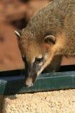 Tier, Amerika - ein netter Coati Lizenzfreie Stockbilder