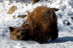 Tier - Brown-Bär (Ursus arctos horribilis) stockfotografie