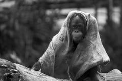 Tier-BW-Reihe - spielerischer Affe, der einen Lappen auf einem Baumast trägt Lizenzfreie Stockbilder