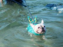 Tier der französischen Bulldogge Lizenzfreie Stockfotografie
