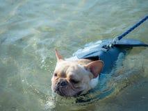 Tier der französischen Bulldogge Stockfotografie