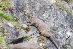 Tier der Ottergefährdeten tierwelt Stockfotografie