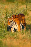 Tier des Opfers Amur oder des sibirischen Tigers, der Pantheratigris-altaica, gehend in das Gras Tiger im Natur Lebensraum Großes Lizenzfreies Stockbild