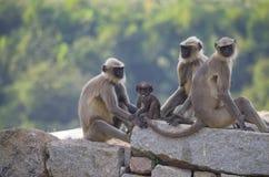 Tier ein Affe in flachem Südlangur Indiens in der alten Stadt von Hapmi in Indien Lizenzfreies Stockfoto
