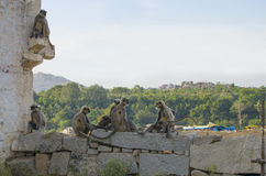 Tier ein Affe in flachem Südlangur Indiens in der alten Stadt von Hapmi in Indien Stockfotografie