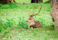 Tier, Inder beschmutzte Rotwild, Achsenachse im wilden mit Kopienraum Lizenzfreies Stockbild