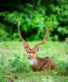 Tier, Inder beschmutzte Rotwild, Achsenachse im wilden mit Kopienraum Stockbild
