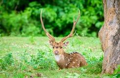 Tier, Inder beschmutzte Rotwild, Achsenachse im wilden mit Kopienraum Lizenzfreies Stockfoto