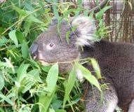 Tier - Koala stockfoto