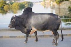 Tier Vieh eines Asiatszebus Stockfotografie