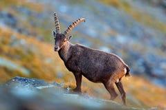 Tier von der Alpe Geweih-alpiner Steinbock, Caprasteinbock, verkratzend Stockfotografie