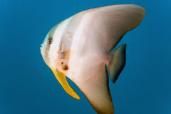 Tiera batfish Royalty Free Stock Photo