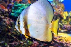 Tiera batfish Royaltyfri Foto
