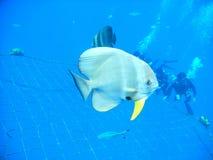Tiera batfish Royaltyfri Fotografi