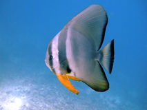 Tiera batfish, Ari Atoll, Maldives Royalty Free Stock Images