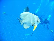 Tiera Batfish Royalty Free Stock Photography