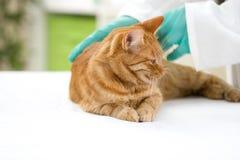 Tierarzt überprüft die Gesundheit einer Katze in einer Veterinärklinik Stockbild
